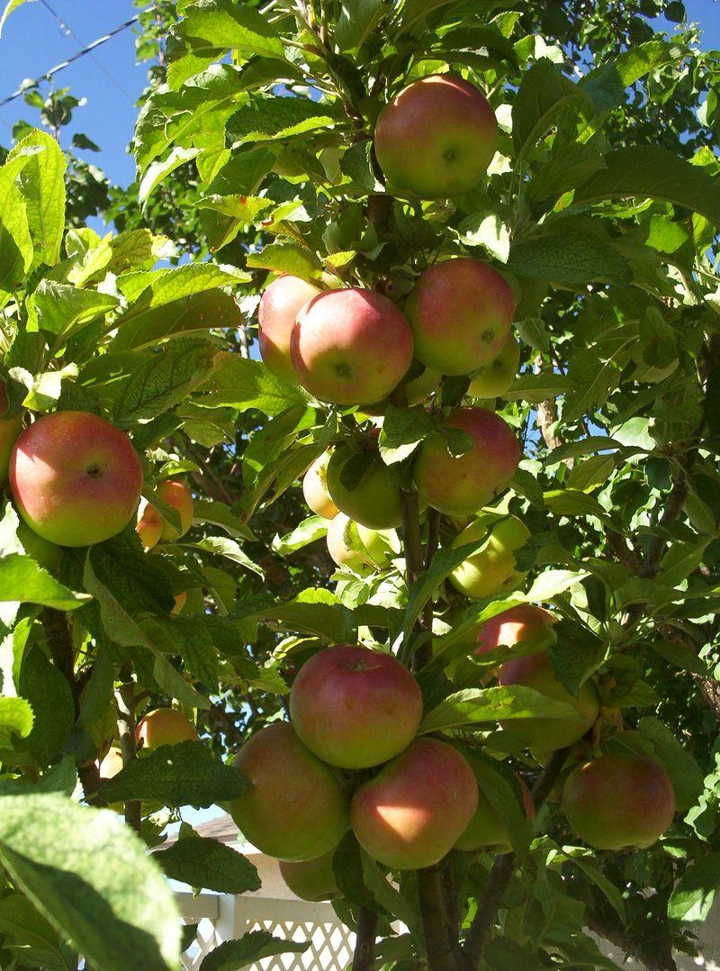 Apples baby Rome Beauty. 2jpg