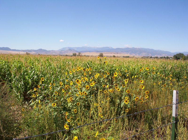 Canal cornfiled sunflowers 2