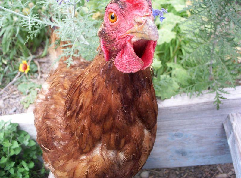 Eye of the chicken