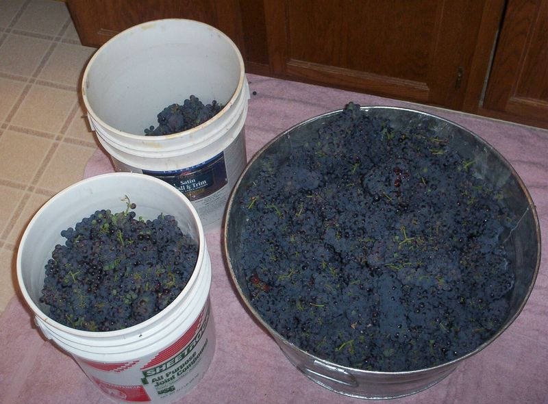 Grapes ready to process