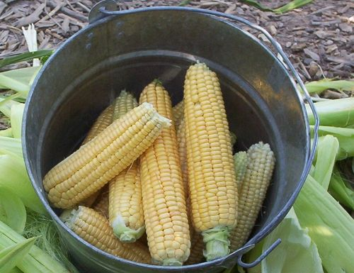 Corn harvest for freezing cropped