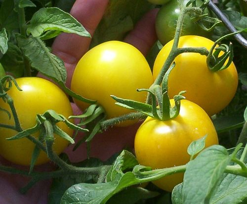 Yellow Tomatoes best