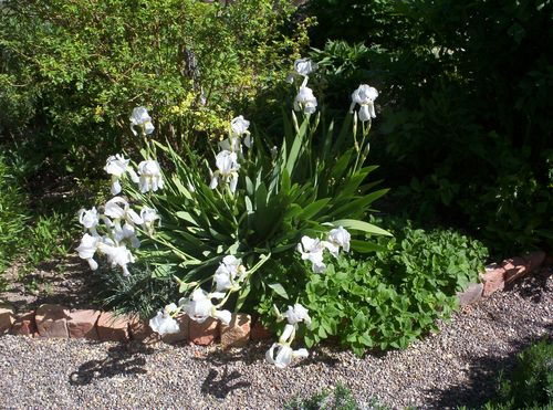 Orris iris