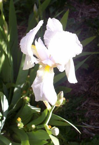 Orris iris blossom