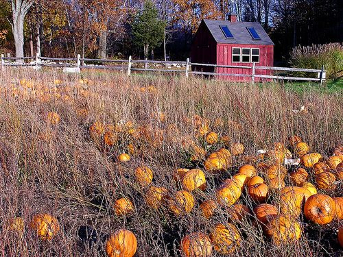 Harvest Home Pumpkins