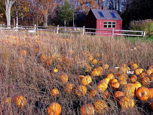 Harvest Home Pumpkins