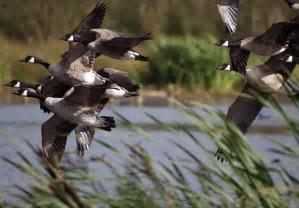 Canadian geese in flight