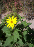 Jeruselum artichoke flower