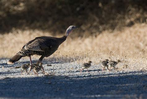 Turkey mom with chicks