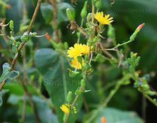 Lactuca flowers