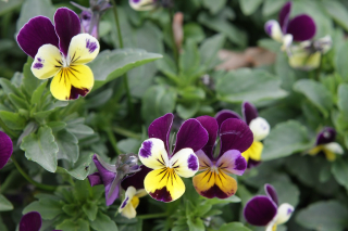 Heartsease flowers