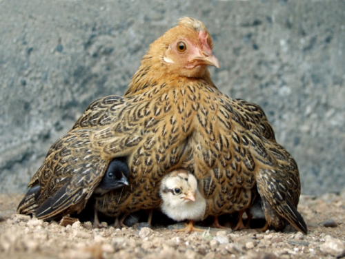 Chicksunderwing1