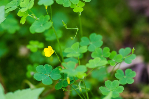 Wood sorrel with bud and blossoms 1